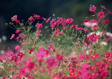 コスモスの花たち