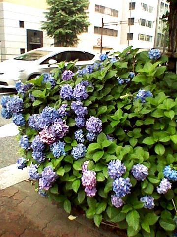 本郷通りの紫陽花.JPG