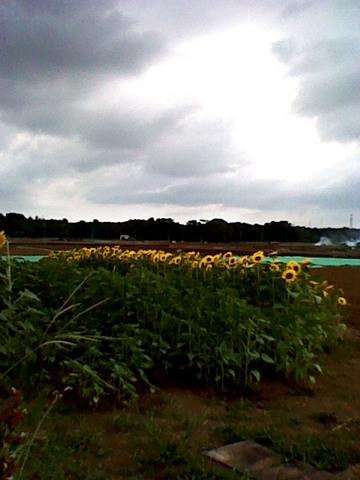 畑の向日葵.JPG