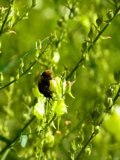 ミツバチのささやき.JPG
