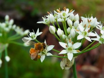 ミツバチの戯れ.JPG
