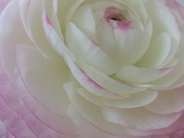 ピンクのラナンキュラス.JPG