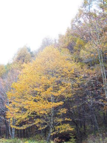 辛夷の樹.JPG