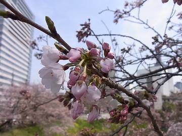 2016桜.JPG