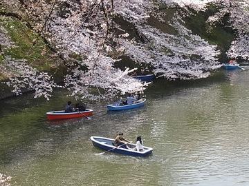 桜の千鳥ヶ淵.JPG