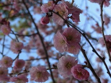 4月の梅.JPG