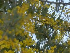 黄色いミモザ