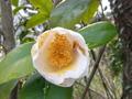 白い椿の花