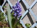 青紫のヒヤシンス