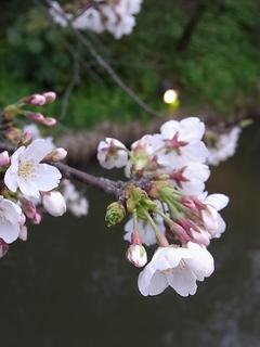 2014桜.JPG