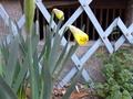 黄ラッパ水仙の蕾