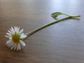 小菊 in クラクフ